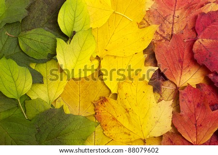 Beautiful fallen leaves lying in tree color line: green, yellow, red. Autumn background. - stock photo