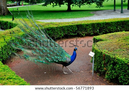 Beautiful feathers of a peacock. - stock photo
