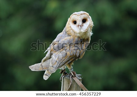 Beautiful female barn owl and green background