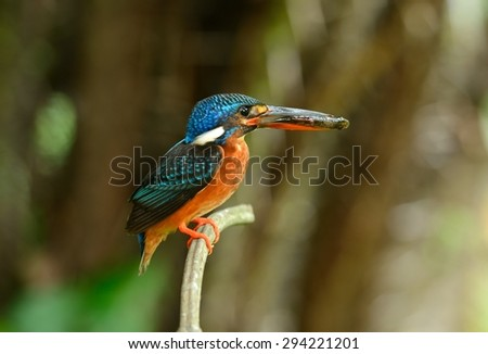 beautiful female blue-eared kingfisher (Alcedo meninting) sitting on branch