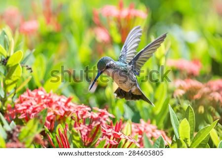 Beautiful female Blue-Tailed Emerald (Chlorostilbon mellisugus) hummingbird in flight feeding on red flowers - stock photo