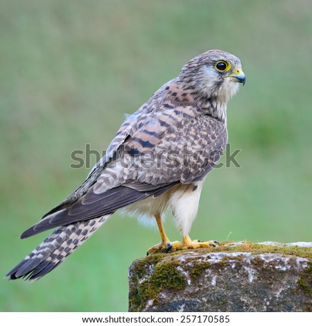 Beautiful female Common Kestrel (Falco tinnunculus), standing on the rock