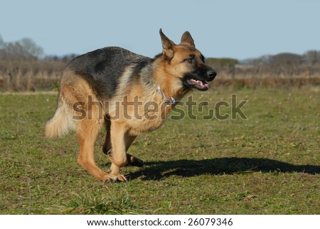 beautiful female german shepherd running in a field