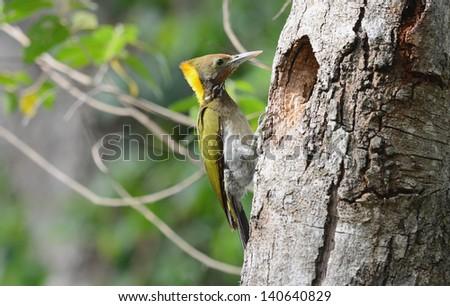 beautiful female Greater Yellownape woodpecker (Picus flavinucha) at her hole - stock photo