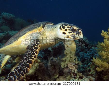 Beautiful female hawksbill turtle - stock photo