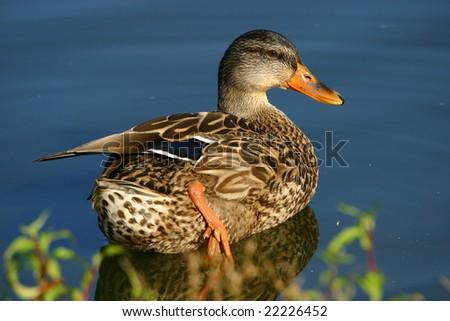 Beautiful Female Mallard Duck, Nature Guide Series - stock photo