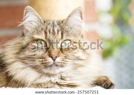 beautiful female of siberian cat, brown tricolor - stock photo