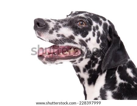 Beautiful female purebreed dalmatian dog or pet over white background - stock photo