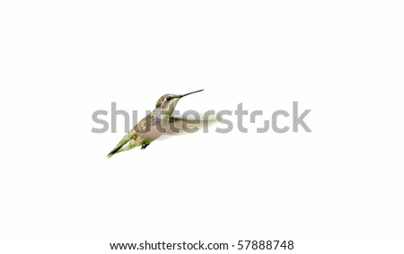 Beautiful female ruby throated hummingbird in motion,isolated on white. - stock photo