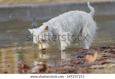 Beautiful female west highland terrier drinking water - stock photo
