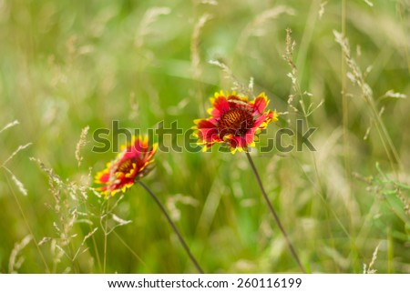 Beautiful feral Indian blanket flowers in a summer wild field - stock photo