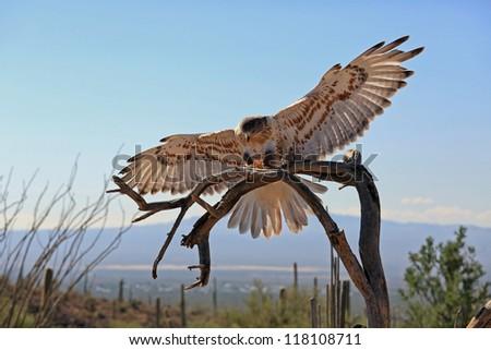 Beautiful Ferruginous Hawk in the desert - stock photo