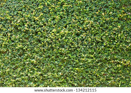 Beautiful ficus pumila leaves wall background