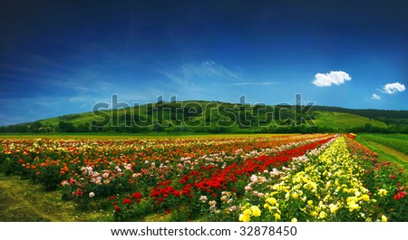 beautiful field full of roses - panorama - stock photo