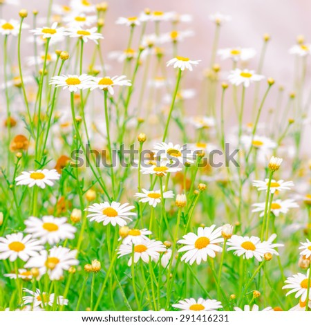 beautiful field of green grass and camomiles as background in the nature, soft light, closeup - stock photo