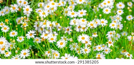 beautiful field of green grass and camomiles as background, panorama  - stock photo