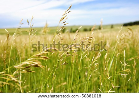 Beautiful field of mature grass with a blue sky in the countryside (shallow depth of field). - stock photo
