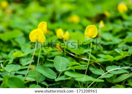 Beautiful field of Pinto Peanut (Arachis pintoi) - stock photo