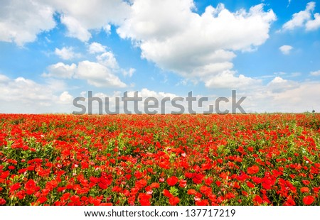 Beautiful field of red poppy flowers with blue sky and cloudscape - stock photo