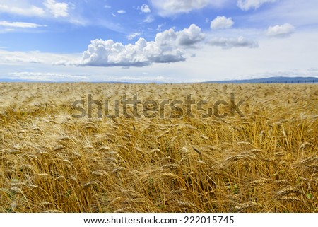 Beautiful field of ripe golden wheat against blue sky - stock photo