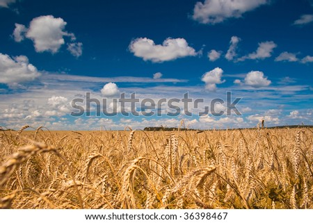 Beautiful field of ripe wheat under blue cloudy sky - stock photo