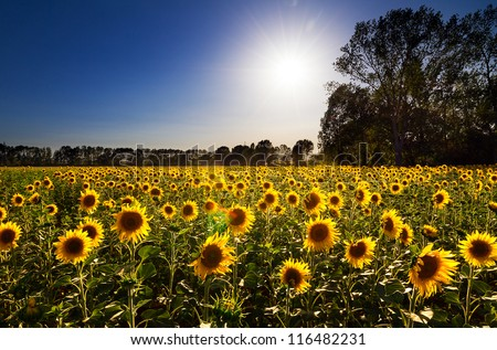 Beautiful field of sunflowers, backlit by the the sun, in Italy - stock photo