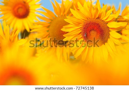 Beautiful field of sunflowers. summer landscape - stock photo