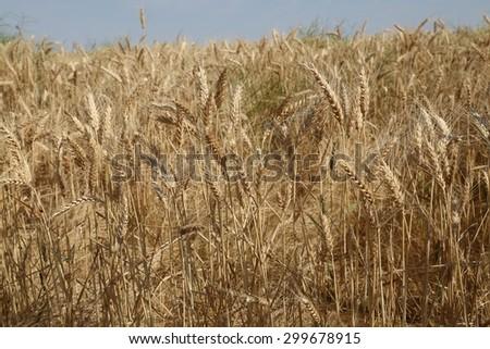 Beautiful field of wheat in rural Washington State - stock photo