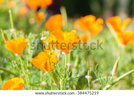 Beautiful field yellow tulips flower, selective focus. - stock photo