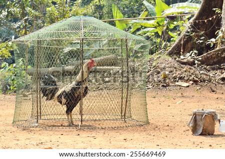 Beautiful fighting cock in coop - stock photo