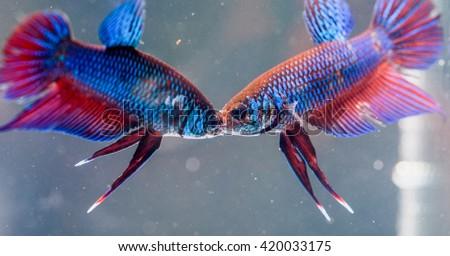Beautiful  fighting fish - stock photo