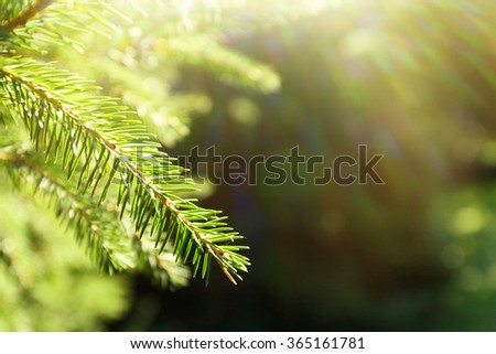 Beautiful fir tree with sunlight - stock photo