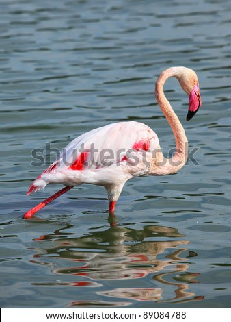Beautiful  Flamingo on the water