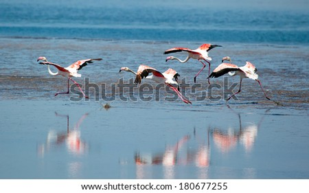 Beautiful Flamingos taking flight