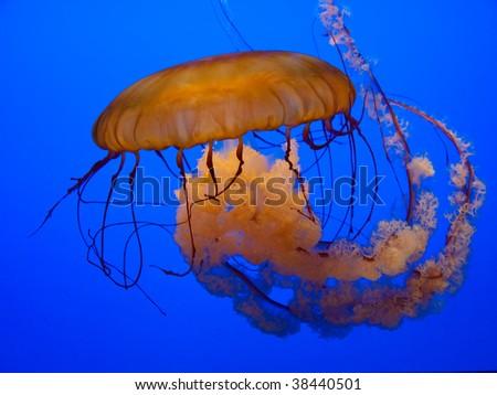 Beautiful floating orange Jellyfish - stock photo