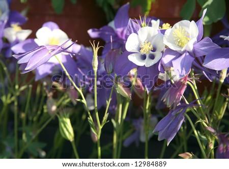 Beautiful flower bed of colorful columbine aquilegia flowers - stock photo