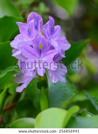 beautiful flower blooming water hyacinth - stock photo