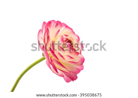 beautiful flower buttercup isolated on white background - stock photo