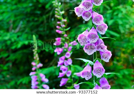 Beautiful flower Campanula - stock photo