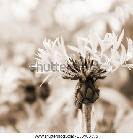 Beautiful flower close-up on a meadow. sepia - stock photo