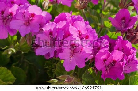 beautiful flower geranium in the sunlight - stock photo