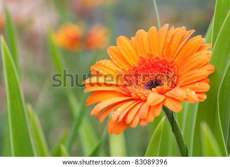 Beautiful flower gerbera covered with dew - stock photo