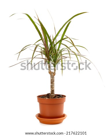 Beautiful flower in flowerpot, isolated on white - stock photo