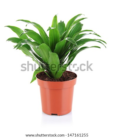 Beautiful flower in pot isolated on white