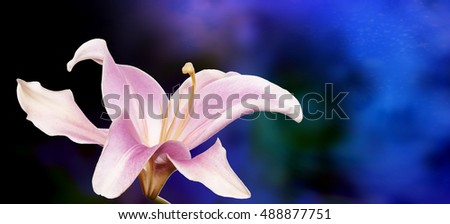 Beautiful flower  lily on abstract dark cyan  background