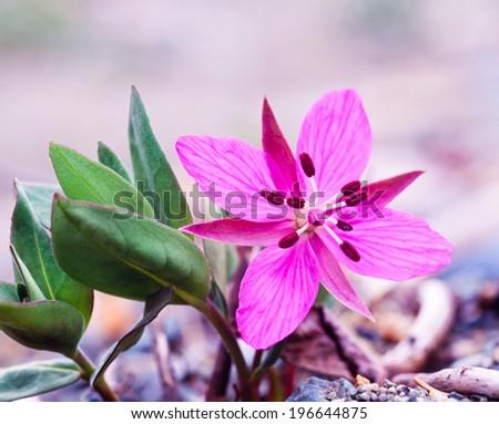 Beautiful flower of Dwarf Fireweed or River Beauty Willowherb, Chamerion latifolium, formerly Epilobium latifolium - stock photo