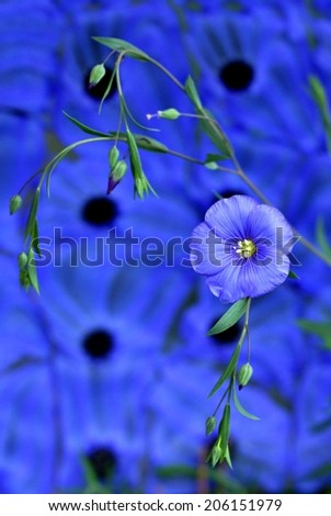 Beautiful flower of flax isolated on blue background  - stock photo