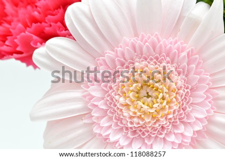 Beautiful flower of Gerbera on White background.