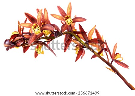 Beautiful Flower Orchid close up isolated on white background - stock photo