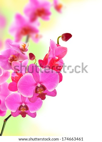Beautiful flower Orchid pink phalaenopsis close-up - stock photo